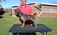 German Shorthaired Pointer Puppies for sale in Shawnee, OK, USA. price: NA