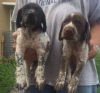 German Shorthaired Pointer Puppies for sale in Nampa, ID, USA. price: NA