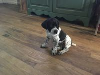 German Shorthaired Pointer Puppies for sale in Bellevue, NE, USA. price: NA
