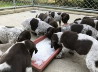 German Shorthaired Pointer Puppies for sale in Oak Lawn, IL 60453, USA. price: NA