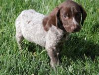 German Shorthaired Pointer Puppies for sale in Colorado Springs, CO, USA. price: NA