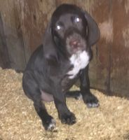 German Shorthaired Pointer Puppies for sale in Yakima, WA, USA. price: NA