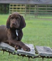 German Shorthaired Pointer Puppies for sale in Ellerbe, NC 28338, USA. price: NA