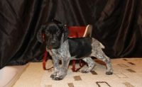 German Shorthaired Pointer Puppies for sale in Ashburn, VA, USA. price: NA