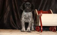 German Shorthaired Pointer Puppies for sale in Westminster, MA, USA. price: NA