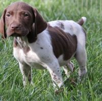 German Shorthaired Pointer Puppies for sale in Dakota City, IA, USA. price: NA