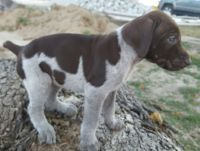 German Shorthaired Pointer Puppies for sale in Union, MO 63084, USA. price: NA