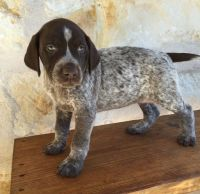 German Shorthaired Pointer Puppies for sale in Cheshire, CT, USA. price: NA