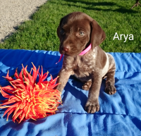 German Shorthaired Pointer Puppies for sale in Sugarcreek, OH 44681, USA. price: NA