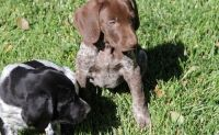 German Shorthaired Pointer Puppies for sale in Bluff City, AR, USA. price: NA