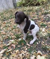 German Shorthaired Pointer Puppies for sale in Ann Arbor, MI, USA. price: NA