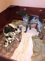 German Shorthaired Pointer Puppies for sale in Uniontown, OH 44685, USA. price: NA