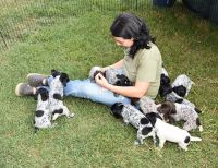 German Shorthaired Pointer Puppies for sale in Daytona Beach, FL, USA. price: NA