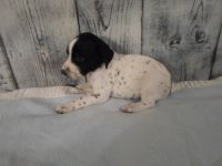 German Shorthaired Pointer Puppies for sale in Kell, IL 62853, USA. price: NA