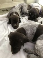 German Shorthaired Pointer Puppies for sale in Hurricane, UT 84737, USA. price: NA