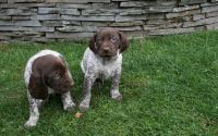 German Shorthaired Pointer Puppies for sale in Michigan City, MS 38647, USA. price: NA