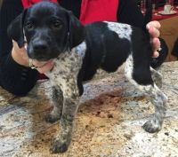German Shorthaired Pointer Puppies for sale in Louisville, KY 40210, USA. price: NA