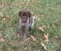 German Shorthaired Pointer Puppies for sale in Tuscaloosa, AL, USA. price: NA