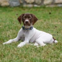 German Shorthaired Pointer Puppies for sale in Dallas, TX, USA. price: NA
