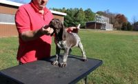 German Shorthaired Pointer Puppies for sale in Beaverton, OR, USA. price: NA