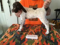 German Shorthaired Pointer Puppies for sale in Briscoe, TX 79011, USA. price: NA