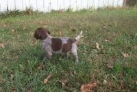 German Shorthaired Pointer Puppies for sale in Centreville, VA, USA. price: NA