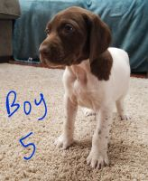 German Shorthaired Pointer Puppies for sale in Nashville, IN 47448, USA. price: NA