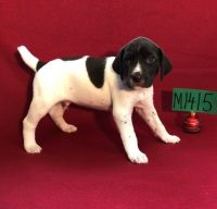 German Shorthaired Pointer Puppies for sale in Los Angeles, CA 90009, USA. price: NA