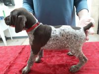 German Shorthaired Pointer Puppies for sale in Glendale, AZ, USA. price: NA