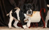 German Shorthaired Pointer Puppies for sale in Batavia, OH 45103, USA. price: NA
