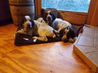 German Shorthaired Pointer Puppies for sale in Warsaw, NY 14569, USA. price: NA