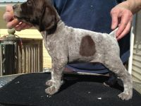 German Shorthaired Pointer Puppies for sale in Crandon, WI 54520, USA. price: NA