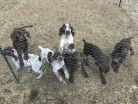 German Shorthaired Pointer Puppies for sale in Lisbon, ME, USA. price: NA