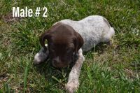German Shorthaired Pointer Puppies for sale in Norwood, NC 28128, USA. price: NA
