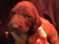 German Shorthaired Pointer Puppies for sale in West Liberty, OH 43357, USA. price: NA