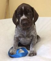 German Shorthaired Pointer Puppies for sale in 2018 Elizabeth St, Springfield, IL 62702, USA. price: NA