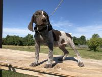German Shorthaired Pointer Puppies for sale in Odessa, MO 64076, USA. price: NA