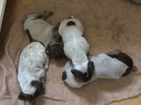 German Shorthaired Pointer Puppies for sale in 1755 N 4290 Road, Hugo, OK 74743, USA. price: NA