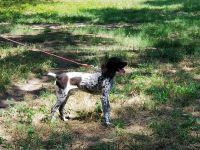 German Shorthaired Pointer Puppies for sale in Bastrop, TX 78602, USA. price: NA