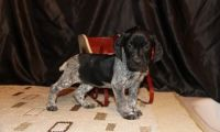 German Shorthaired Pointer Puppies for sale in Gillette, WY, USA. price: NA
