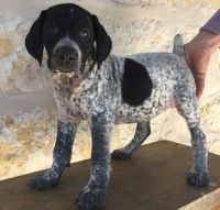 German Shorthaired Pointer Puppies for sale in Columbia, SC, USA. price: NA