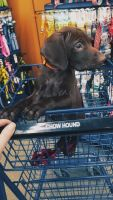 German Shorthaired Pointer Puppies for sale in Grand Rapids, MI, USA. price: NA