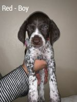 German Shorthaired Pointer Puppies for sale in Salem, OR, USA. price: NA