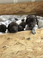 German Shorthaired Pointer Puppies for sale in Mound, MN 55364, USA. price: NA