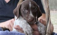 German Shorthaired Pointer Puppies for sale in Chicago, IL 60620, USA. price: NA
