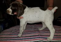 German Shorthaired Pointer Puppies for sale in Seattle, WA 98108, USA. price: NA