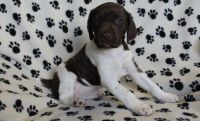 German Shorthaired Pointer Puppies for sale in Nashville, TN 37219, USA. price: NA