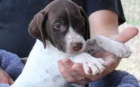 German Shorthaired Pointer Puppies for sale in Harrisburg, PA, USA. price: NA