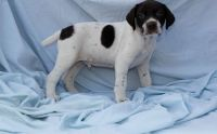 German Shorthaired Pointer Puppies for sale in Boulder, CO, USA. price: NA