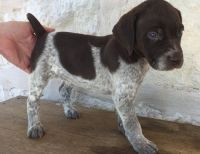 German Shorthaired Pointer Puppies for sale in Fort Worth, TX, USA. price: NA